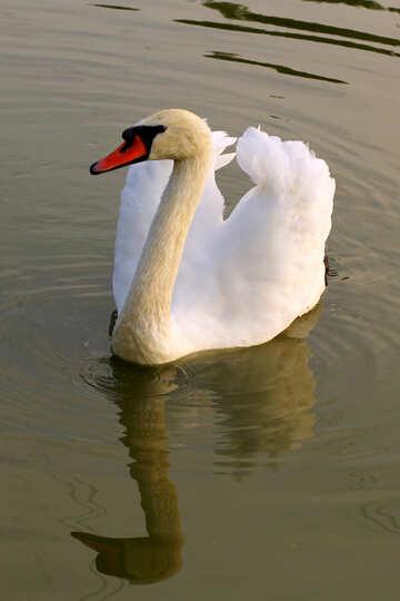 Swan №34086