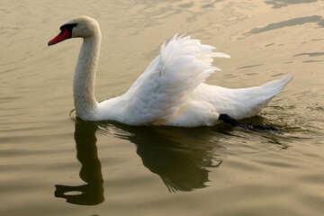 Bellissimo cigno bianco №34054