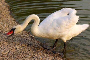 Swan hisses №34126