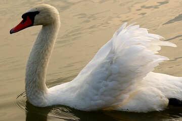 Grande cigno bianco №34055