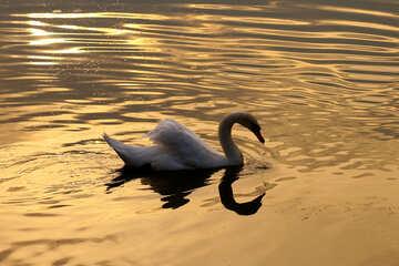 White Swan №34067