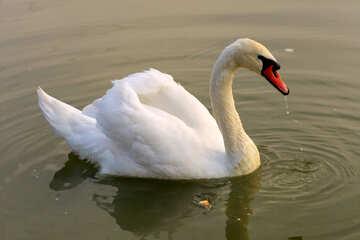White Swan №34074