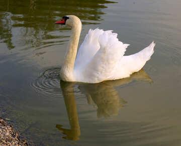 White Swan №34095