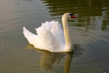 Cigno bianco №34096