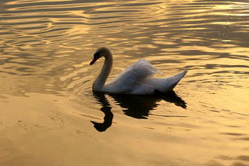 White Swan on gold №34065