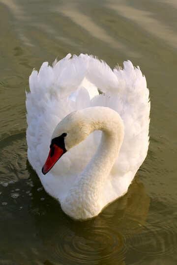 White Swan near №34131