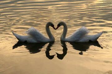 Swans №34066
