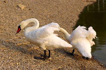 Swans №34119