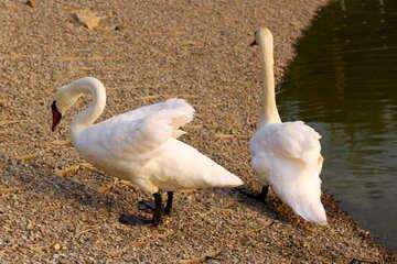 Homemade swans №34120