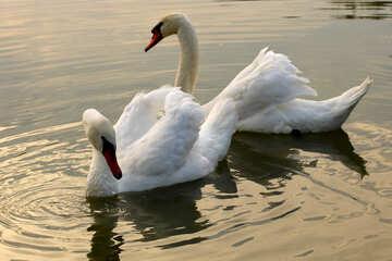 White swans №34042