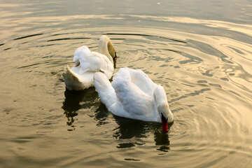 White swans №34044