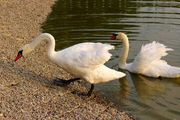 White swans №34123