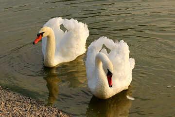 White swans №34151