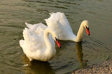 White swans №34152