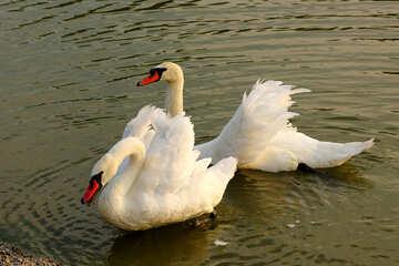 White swans №34154