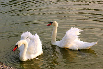 White swans №34155