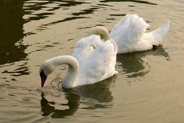 White swans close №34045