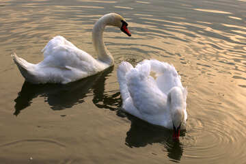 White swans on the Lake №34043