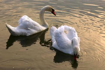 White swans on the Lake №34043