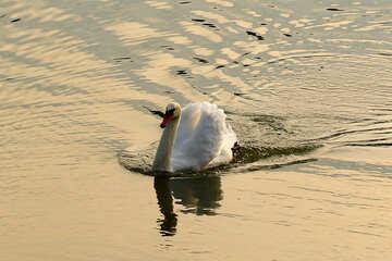 Swan on water №34166
