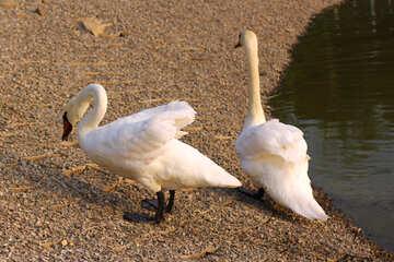 Swan walk №34121