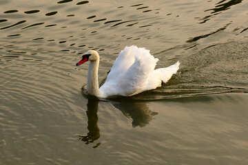White Swan №34159