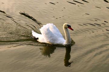 White Swan №34160