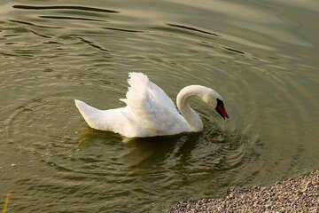 White Swan №34161