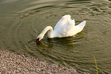 White Swan №34162