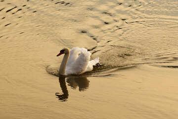 White Swan at sunset №34164