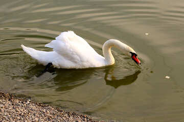 Cigno bianco raccoglie il pane in acqua №34115