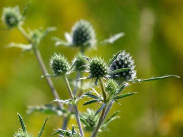 Weed treatment plant Eryngium №34398