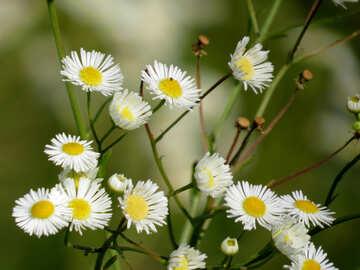 Wild flowers like Chamomile №34380