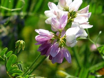 Wild flower field peas №34390
