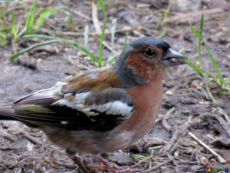Large chaffinch №34577