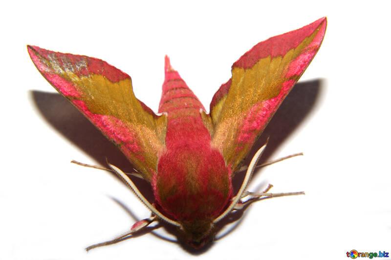 Polillas hyles vino pequeño mariposa № 34305