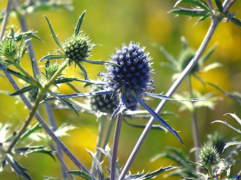 Wildflower Eryngium №34396