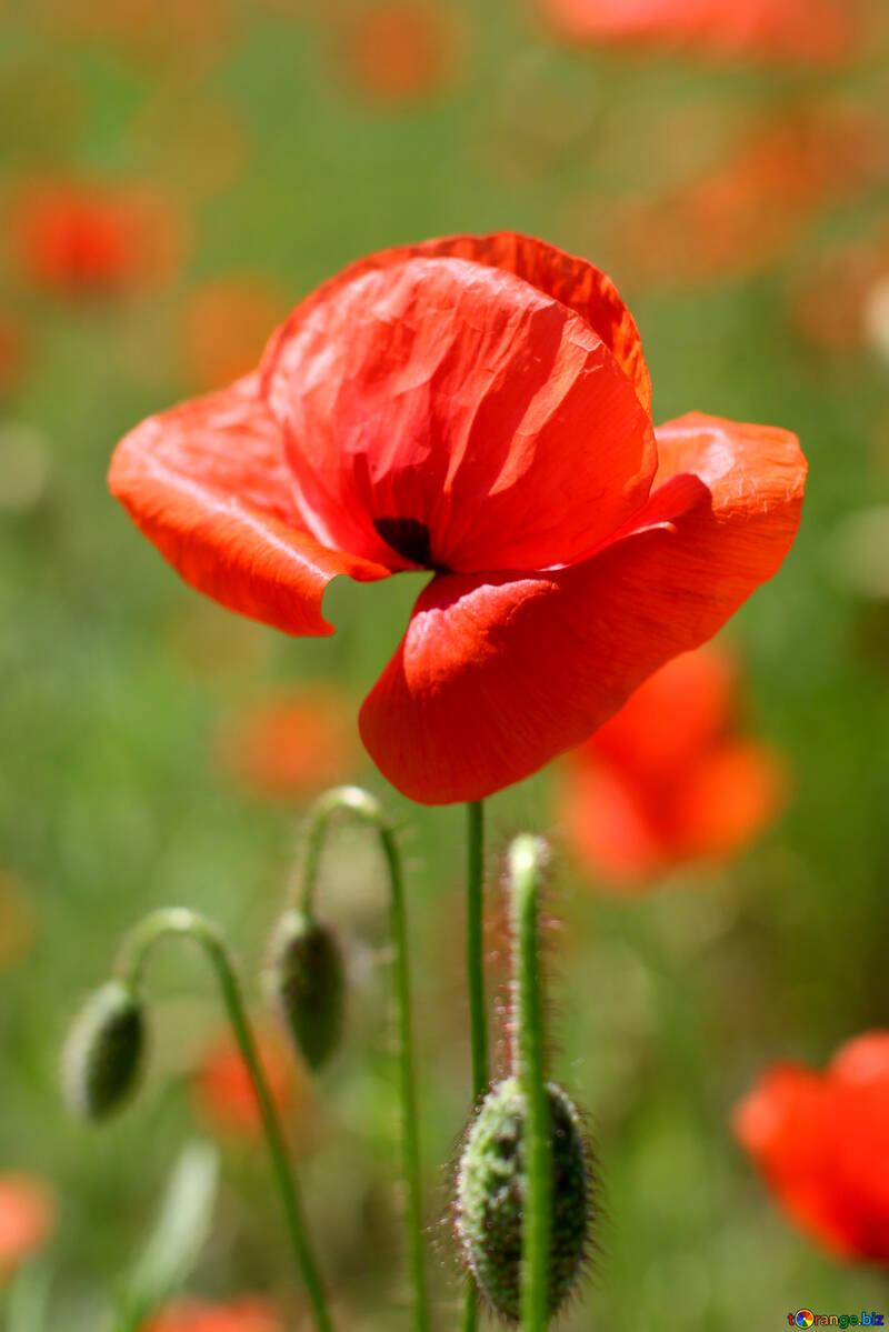 Bud Of A Poppy Flower Red Poppy Flower Poppy 34222