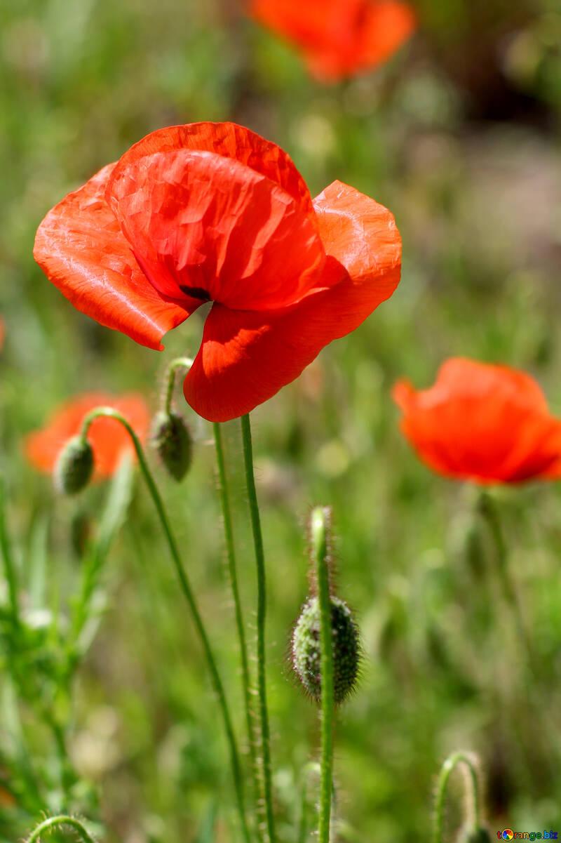 Bud Of A Poppy Flower Red Poppy Flower On The Field Poppy 34218