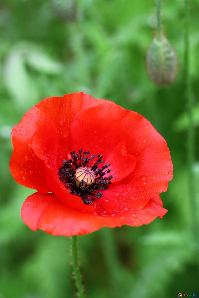Poppy №34252