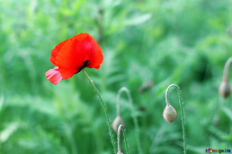 Fiori Rosso Fiore Di Papavero Rosso Papavero 34282