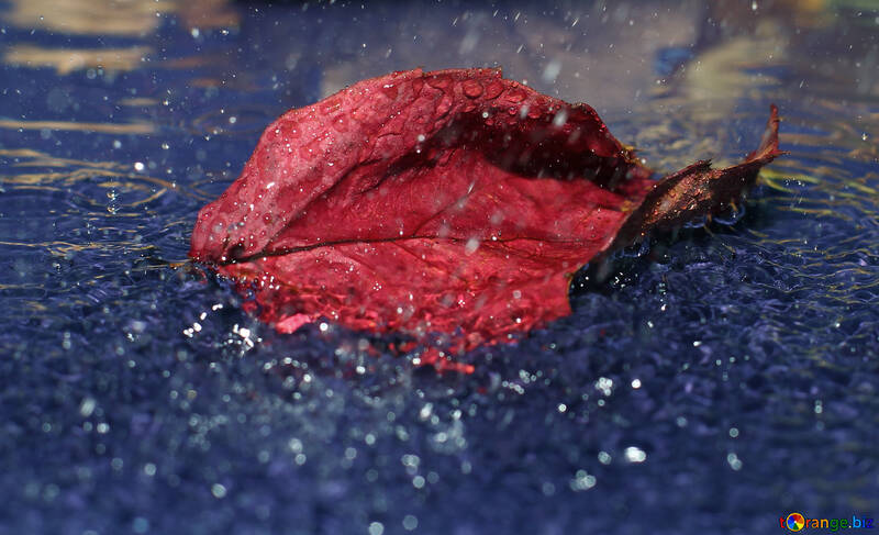 Autumn leaf in puddle in the rain №34663