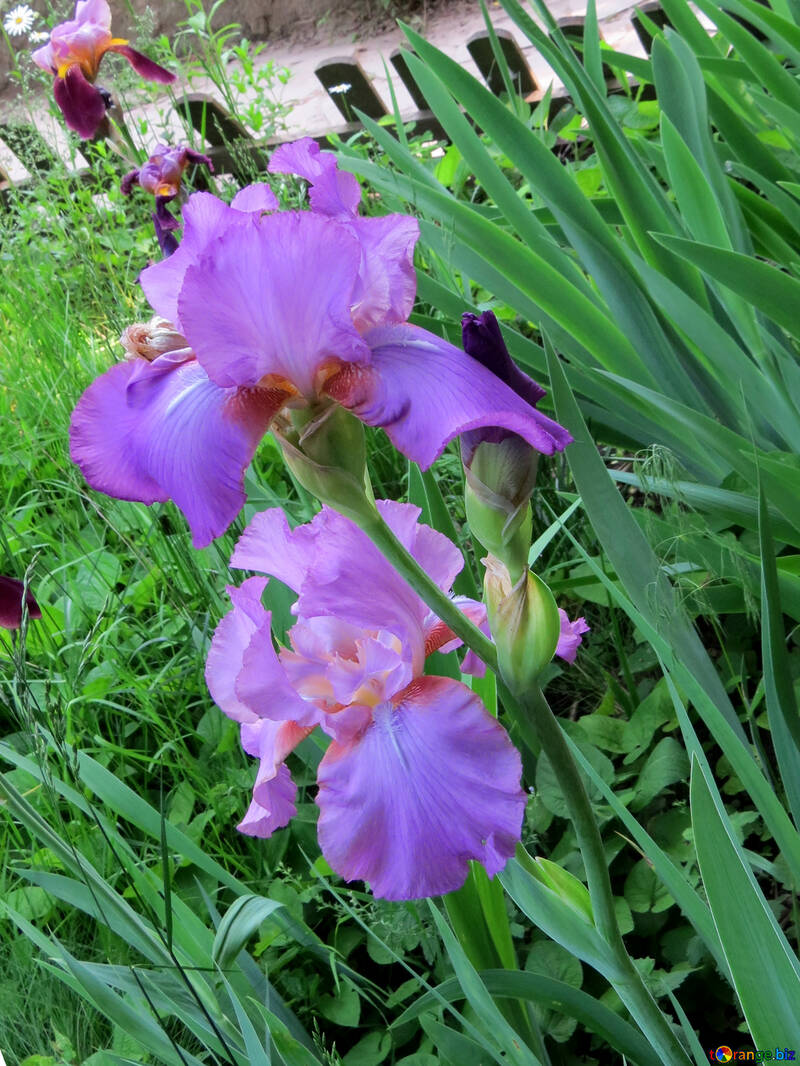 Flowers Irises Flower Of Iris Spring 34753