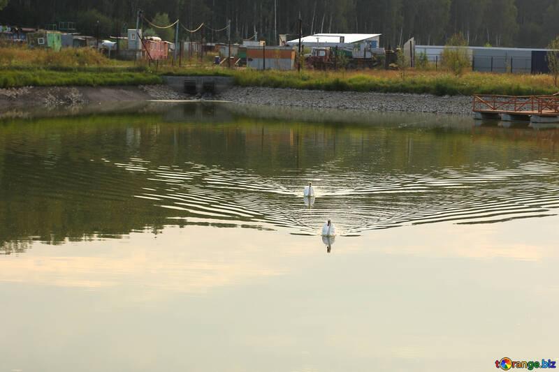 Озеро с лебедями №34174