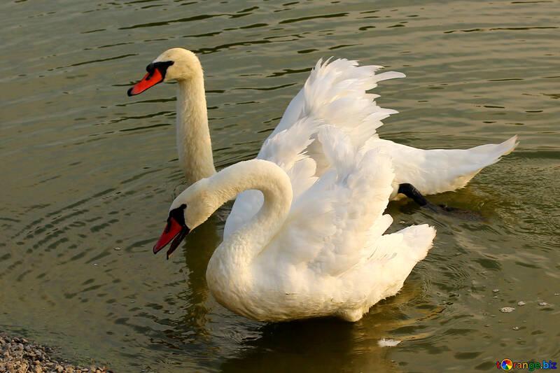 Белые лебеди №34153