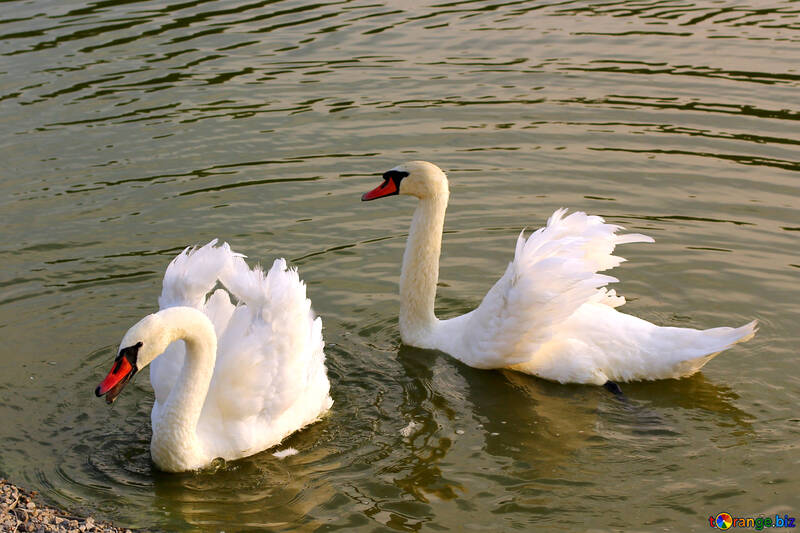 Cisnes blancos №34155