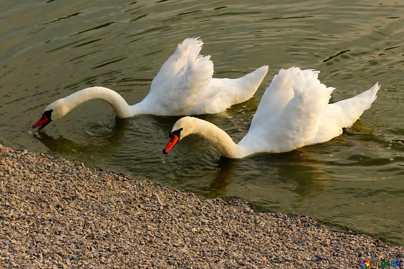 Белые лебеди №34157
