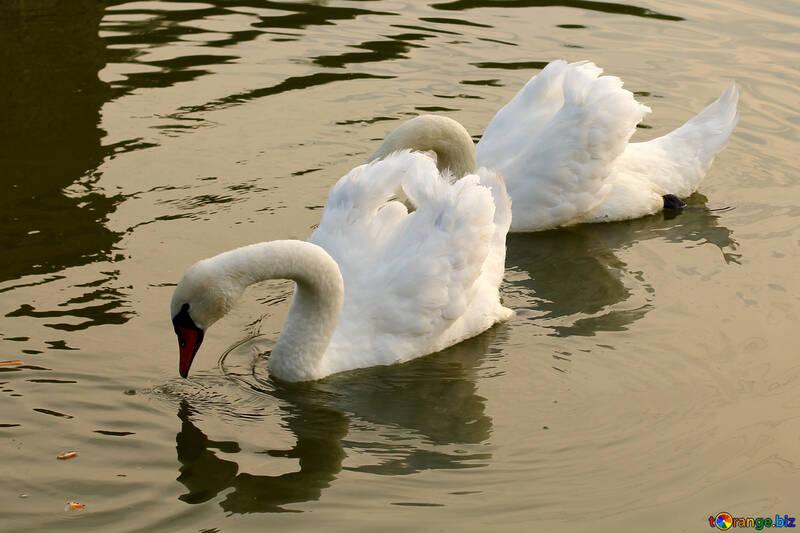 Белые лебеди близко №34045
