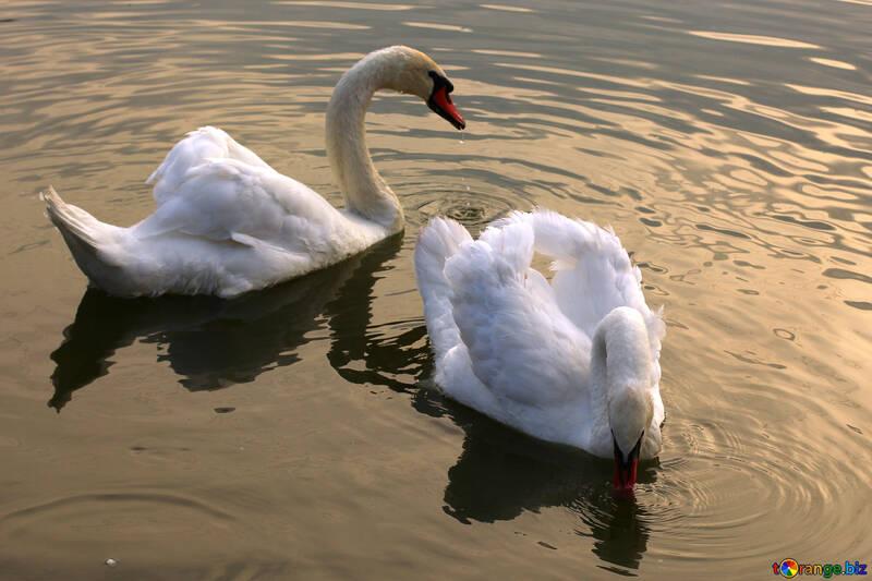 Cisnes blancos en el lago №34043