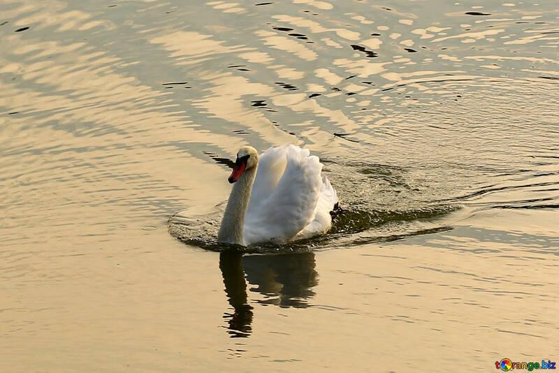 Лебедь на воде №34166